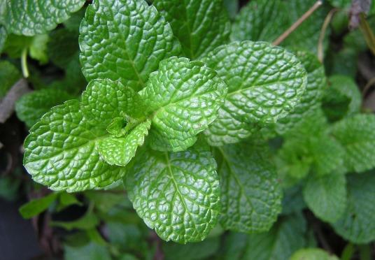 herb-2540565_960_720