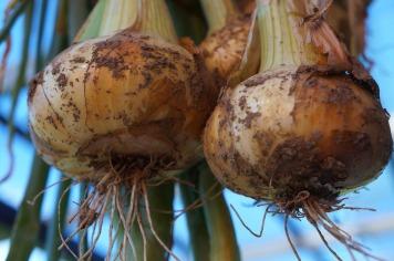 onions-2441846_960_720